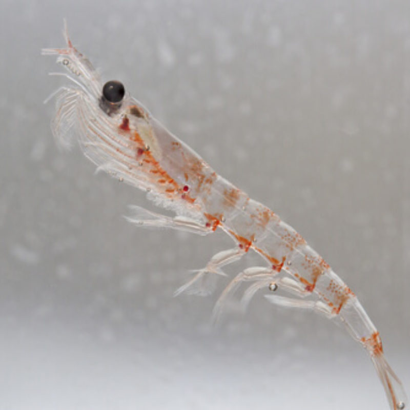 [ATHROSE-ARTHRITE] : le krill peut-il soulager vos articulations ? [HUILE DE KRILL – OMEGA 3]